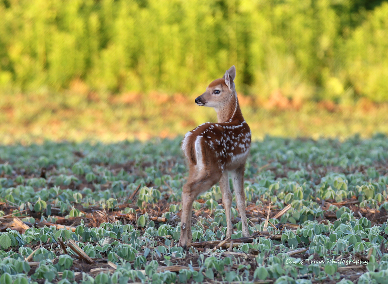 Fawn at the end of the day (photo)